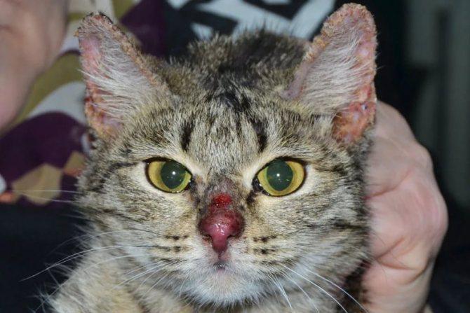 Антигистаминные препараты для кошек: обзор и фото