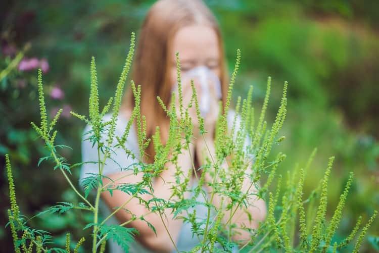 Есть проверенные методы лечения народными средствами аллергии на амброзию.