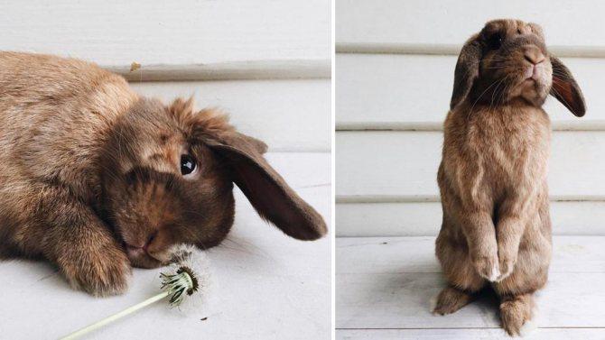 Кролики, как домашние питомцы