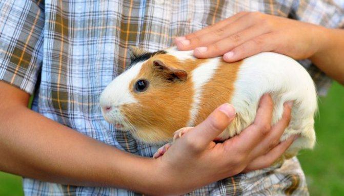 Может ли быть аллергия на морскую свинку? Симптомы и лечение