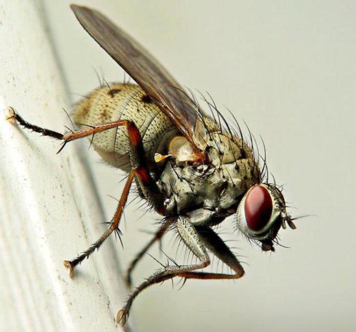 обычные мухи