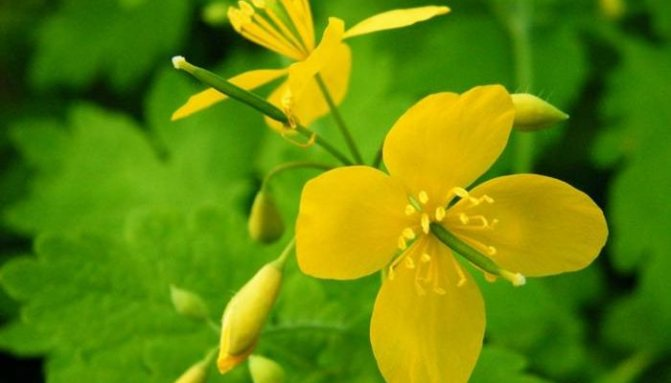 Трава чистотел при кожных заболеваниях